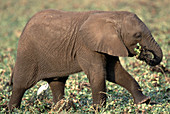 Young African Elephant calf eating