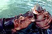 Hippopotamuses playing