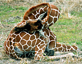 Adult Reticulated Giraffe