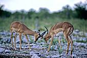 Black-faced Impalas sparring