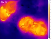 Nesting mice and young, thermography