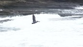 Pelican flying over sea, slow motion