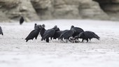 Black vultures scavenging on the beach