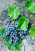 Red grapes with vine leaves on a tree trunk