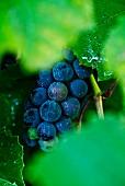 Red grapes between vine leaves