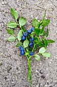 Blueberries with sprigs
