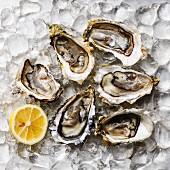Geöffnete Austern und Zitrone auf Eis