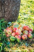 A bunch of ripe apples under an apple tree in a garden