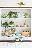 Groceries and home-sown sprouting seeds on kitchen shelves