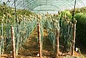 Saatgutvermehrung im Gewächshaus