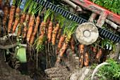 Mechanisierte Karottenernte