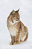 Eurasian lynx in snow,Lynx lynx,Finland