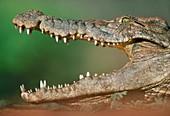 Nile crocodile,Botswana