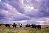 African elephants,Masai Mara