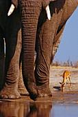 Elephants and impala,Aepyceros melampus