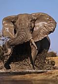 African elephant bull charging,Botswana