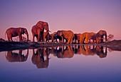 African elephants,Chobe Botswana