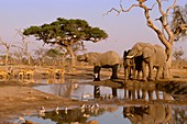 African elephants,impalas and doves