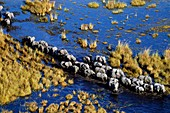 African elephant herd crossing swamp