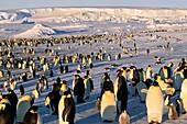 Emperor penguin colony,Antarctica