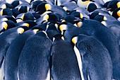 Emperor penguins huddling,Antarctica