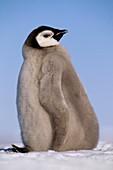 Emperor penguin chick,Antarctica