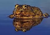 African bullfrog,Pyxicephalus adspersus