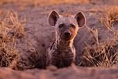 Spotted hyena pup at burrow,Botswana