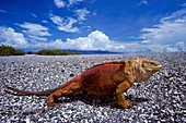 Land iguana with erupting volcano
