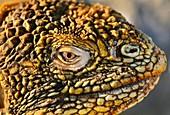 Land iguana,Conolophus subcristatus