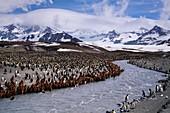 King penguin colony,South Georgia Island