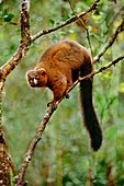 Red-bellied lemur on branch,Madagascar