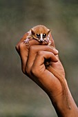 Brown mouse lemur in hand,Madagascar