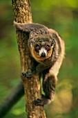 Mongoose lemur,Madagascar