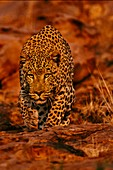 Leopard male stalking,Namibia