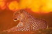 Female leopard at sunset,Panthera pardus