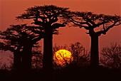 Baobabs in winter,Adansonia grandidieri