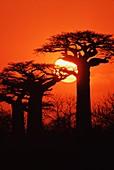 Baobabs at sunset,Adansonia grandidieri