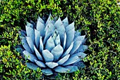 Century plant,Agave parryi,Mexico