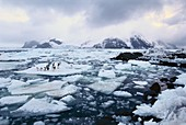 Adelie penguins on sea ice