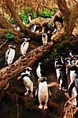 Snares crested penguins in a forest