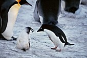 Adelie penguin and emperor penguin