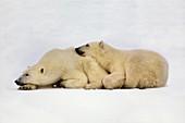 Polar bear mother and cub Ursus maritimus