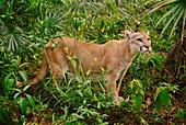 A Cougar,Puma concolor,Belize