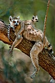 Ring-tailed lemur with young,Lemur catta