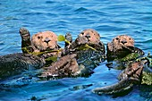Sea otters in kelp,California,USA