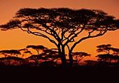 Acacias at sunset in Serengeti,Tanzania