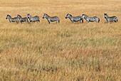 Zebras,Masai Mara Reserve,Kenya