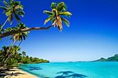 Palm lined beach,Bora Bora,Tahiti