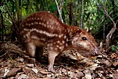 Spotted paca,a small spotted Agouti paca